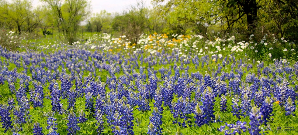 WillowCityBluebonnets_psE1_wm1